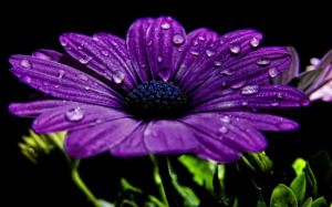 hd-paarse-bloem-wallpaper-en-zwarte-achtergrond-bloemen-foto
