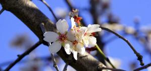 almond-flower-1165896_1280
